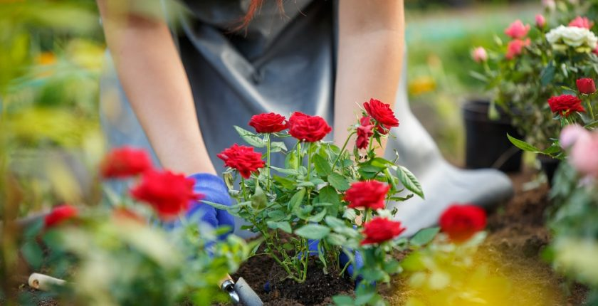 Planting roses in winter
