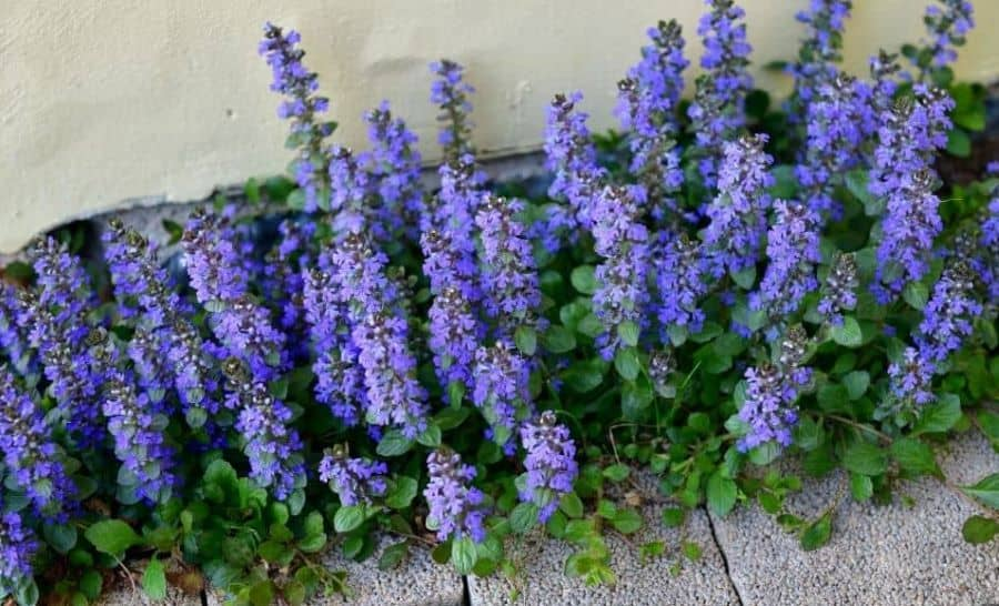 The Blue Bugle is an example of an invasive plant.