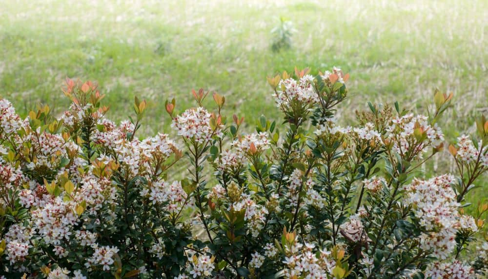 The Indian Hawthorn is drought tolerant once established.